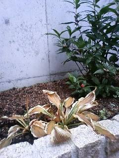 冬のギボウシ