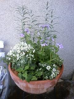 ネメシアとサクラソウの寄せ植え
