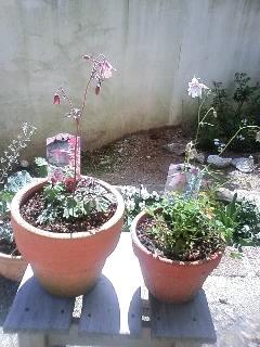 風鈴おだまきを鉢植えにする
