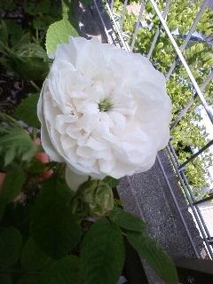 6番目…オールドローズ、マダムアルディが咲きました