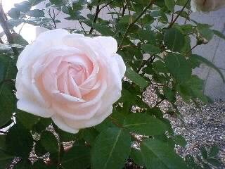 7番目…粉粧楼が咲きました