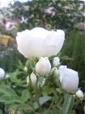シュネープリンセスの開花