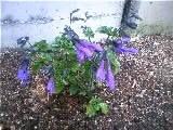 園芸作業その2…アメジストセージを植える