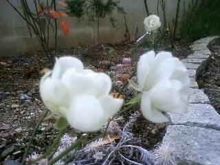 真冬でも咲き続ける…シュネープリンセス