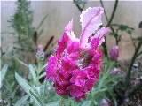 フレンチラベンダー・紫と白