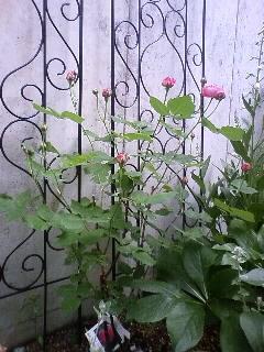ルイーズオディエ、咲きました。