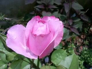 紫のバラ、ディオレサンス