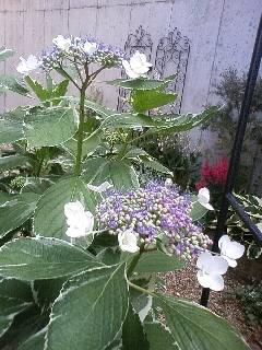 雨ですね。紫陽花の季節