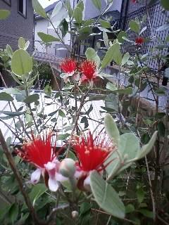 フェイジョアの花が咲き…やってきたのは?