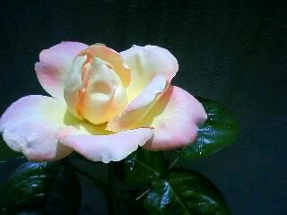 美しい花、ハイブリッドティーローズ・ピース