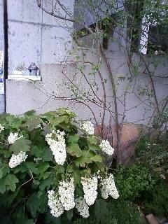 梅雨の晴れ間に、つるアイスバーグの剪定