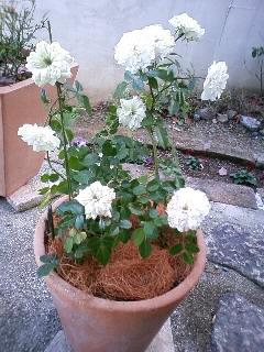 ミニバラ、ブルーアイスを鉢植えにする