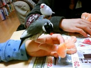 白文鳥おもたん(*^_^*)