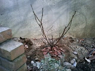 バラ苗の植え付け