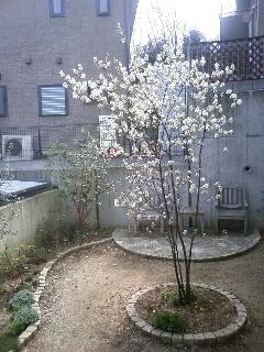 満開のジューンベリー…庭の写真も