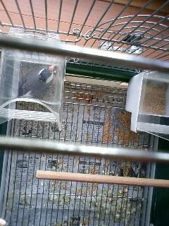 桜文鳥クルミ、春の産卵