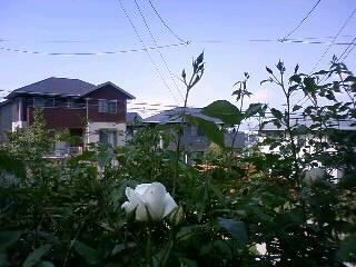2011・春:つるアイスバーグ、蕾が開き始めました