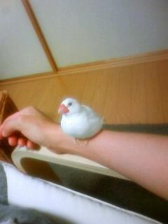 白文鳥、おもたんがなついてくれた(^o^)