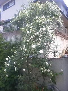 2011年5月20日:つるアイスバーグ、7分咲き