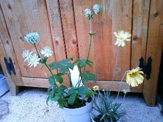 謎の黄色い花とアストランチアローザリー
