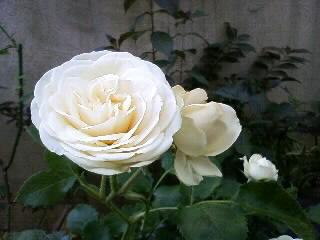 バラの誘惑に負ける…クリーミーエデン
