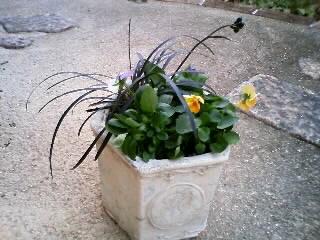 ビオラと黒竜の寄せ植え