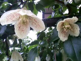 冬咲きクレマチス・シルホサ