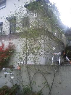 2011秋つるアイスバーグの剪定