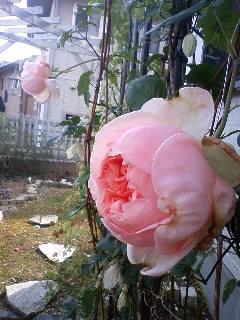 庭の小道に咲くバラ