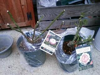 冬の大苗届く。マダムピエールオジェ、アンブリッジローズ